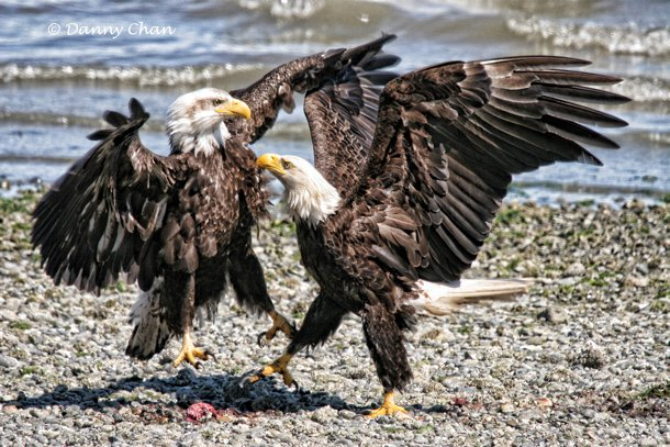 Fraser Valley Bald Eagle Festival Explodes In Pority Draws Thousands To Mission Harrison Mills
