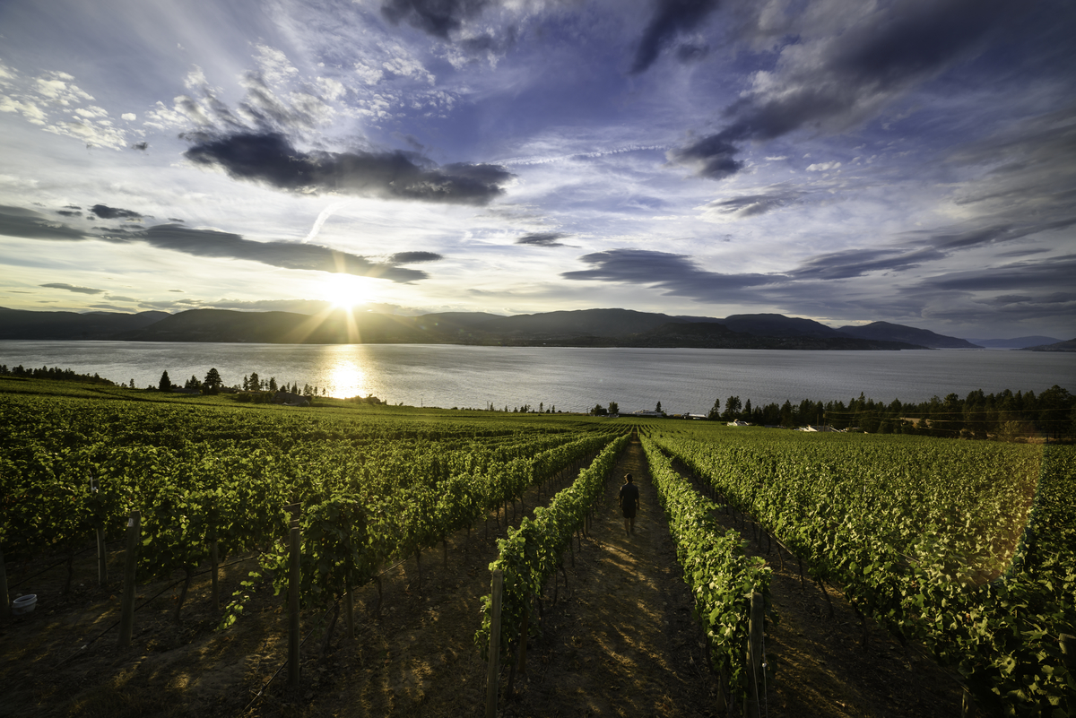 A vineyard in Kelowna/Westbank in BC