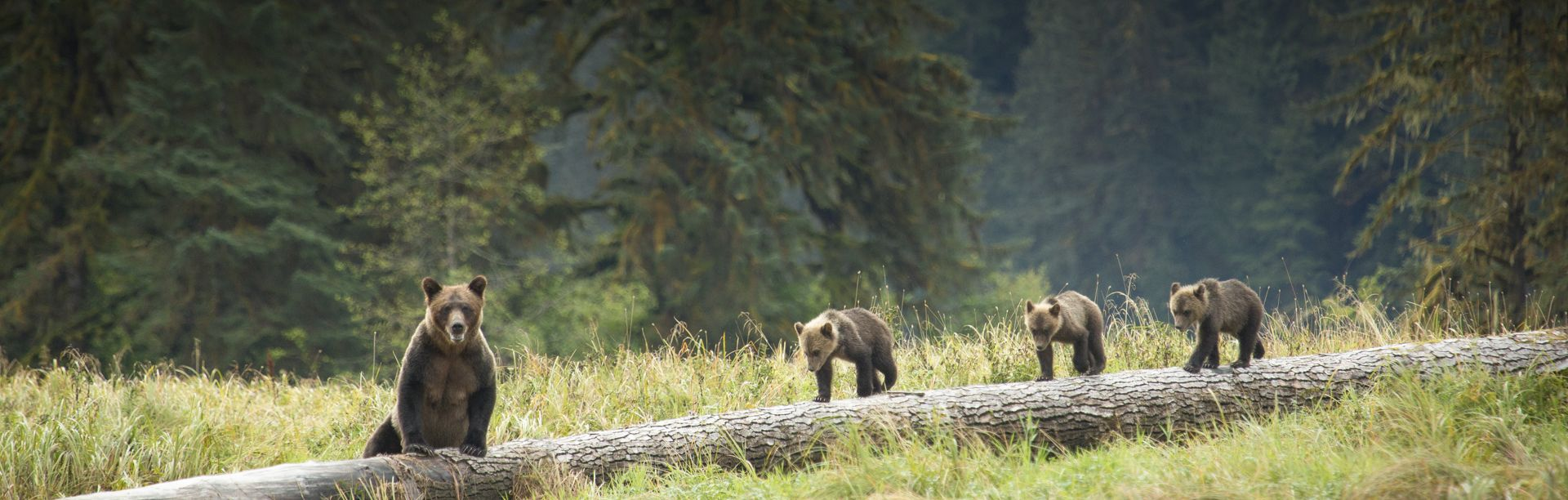 Bears walk along a fallen log in a BC forest.