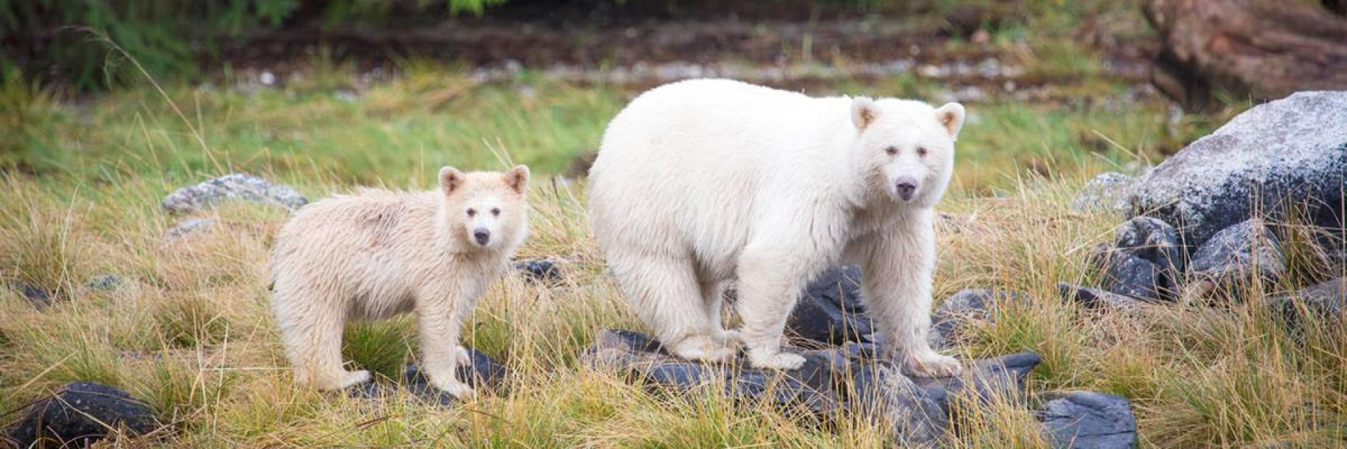 A spirit bear and her cub stand along a riverbank.