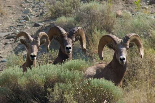 California Bighorn Sheep, amazing