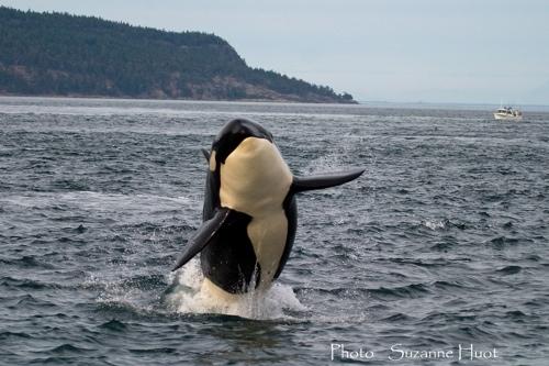 Killer whale breech