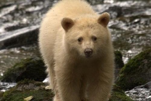 Spirit-Bear-LodgeBaby-bear