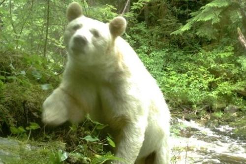 Spirit-Bear-LodgeCute-bear