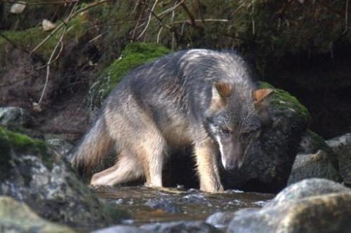 Spirit-Bear-LodgeWolf
