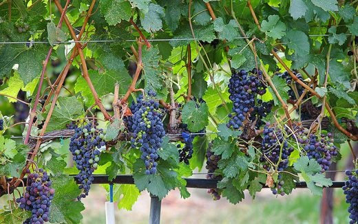 Spirit-Ridge-grapes