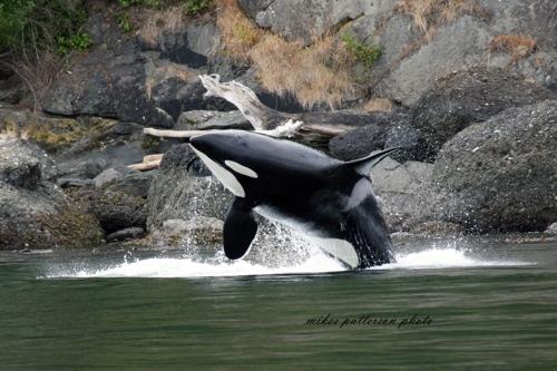 Whale breeching 3