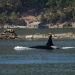 Sidney Whale Watching_image