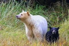 Spirit Bear Lodge_image