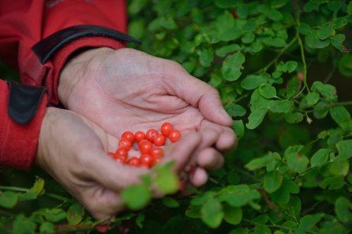 takaya-tours-huckleberries-500x333