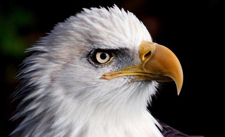 Fraser River Bald Eagle Festival