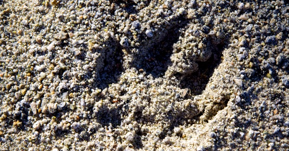 Wolf tracks, Spirit Bear (Adventures) Lodge, Klemtu B.C.
