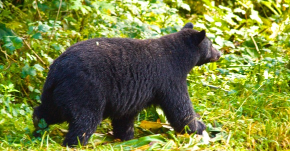 Spirit Bear Quest, B.C., bear arriving to bear lookout near Hartley Bay
