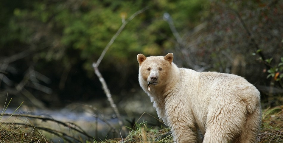 Spirit-Bear-with-fish-in-mouth-small