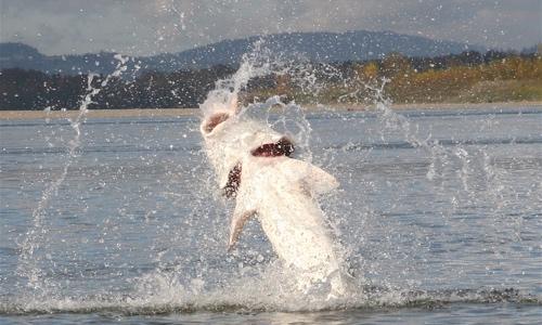 Jumping-sturgeon-great-river-fishing