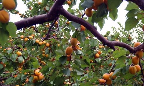 Spapium-Farm-Apricots-1