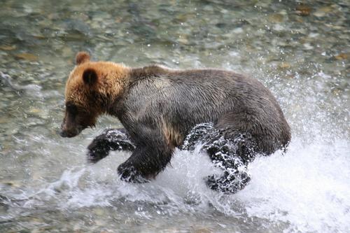 Homalco_Bear_Tour
