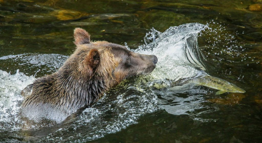 Knight Inlet Grizzly Bear Viewing Tours